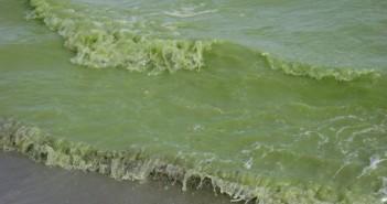 Cyanobacteria or Blue-green Algae