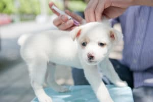 puppy getting vaccine