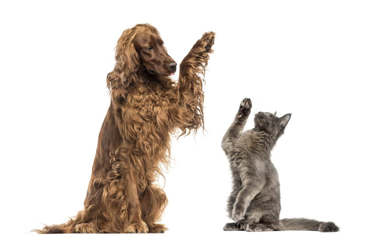 dog and cat raising one paw to signal a high five