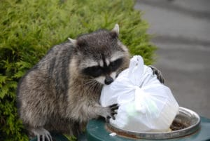 raccoon getting into garbage
