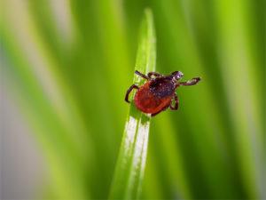 black legged tick on a blade of grass